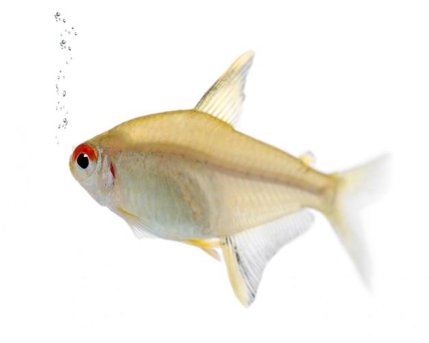 Hyphessobrycon bentosi poisson sur un blanc isolé