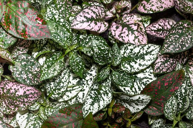 Hypoestes phyllostachya feuilles colorées