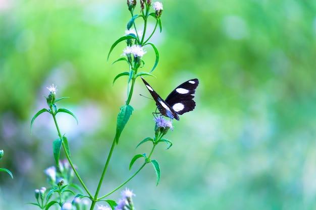 Hypolimnas bolina le grand papillon ou papillon de lune bleue reposant sur les plantes à fleurs