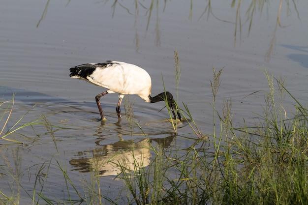 Ibis d'afrique dans petit étang. ngorongoro, tanzanie