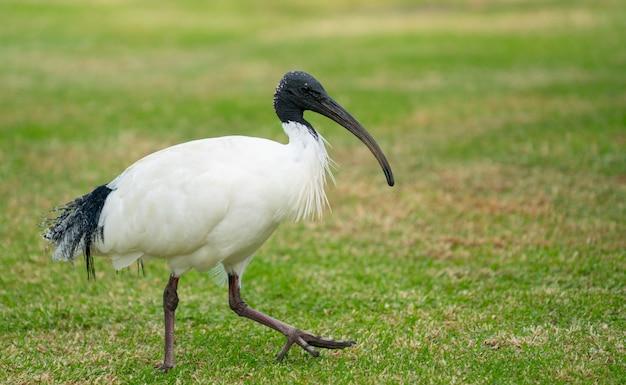 Ibis blanc australien