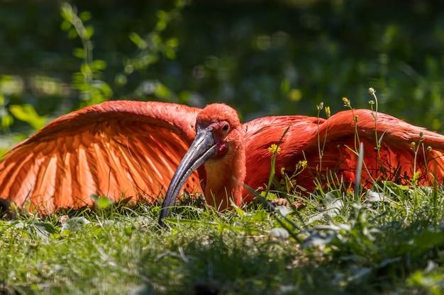 Ibis écarlate reposant sur le sol