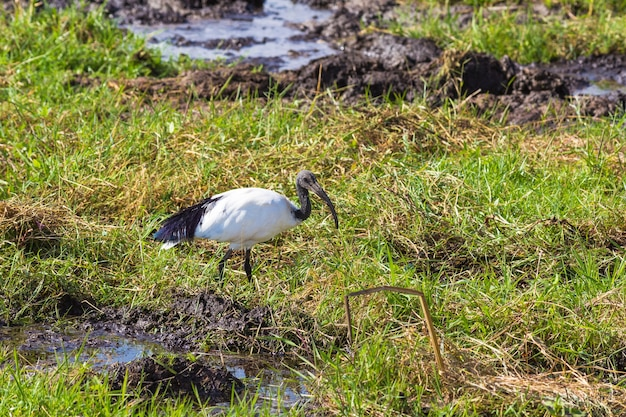 Ibis un oiseau est à la recherche de nourriture sur un marais amboseli kenya