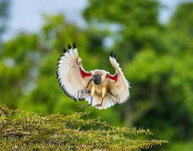 Ibis sacré africain atterrissant sur des branches d'arbres