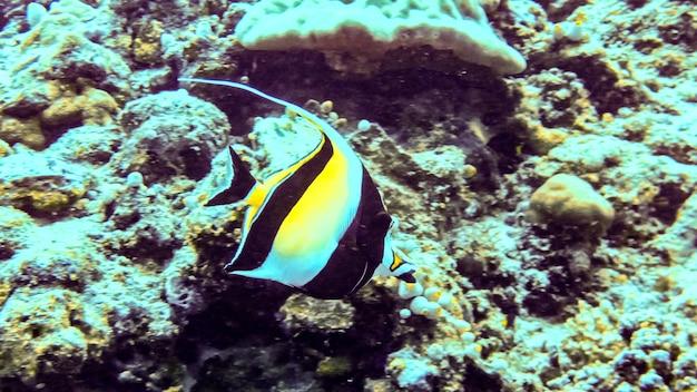 Idole maure (zanclus cornutus) dans l'océan indien, aux maldives.