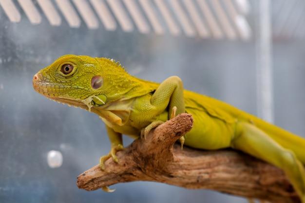 Iguane d'albino