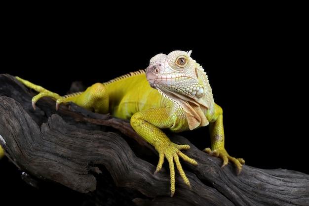 Iguane albinos sur une branche