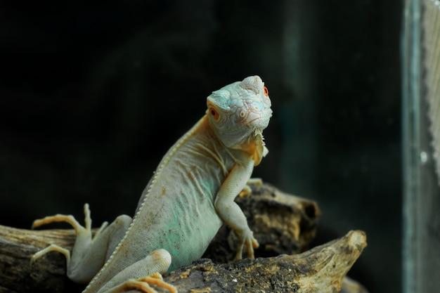 Iguane albinos de couleur bleu clair