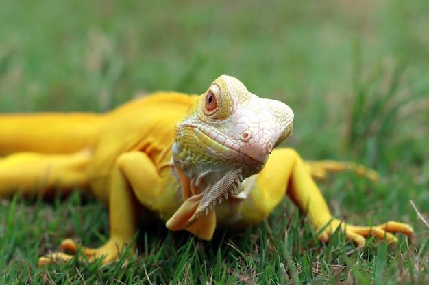 Iguane albinos sur l'herbe
