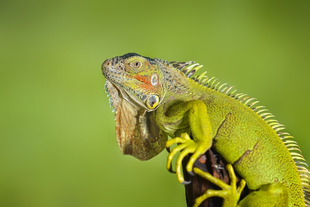 Iguane sur une branche d'arbre avec un reptile de beauté de fond de nature