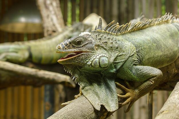L'iguane sur les branches est un résident de l'amérique centrale et de l'amérique du sud.