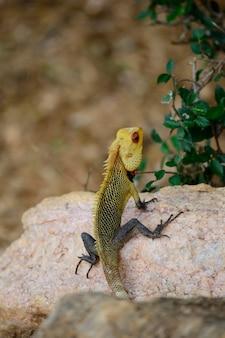 Iguane coloré sur une pierre, sri lanka