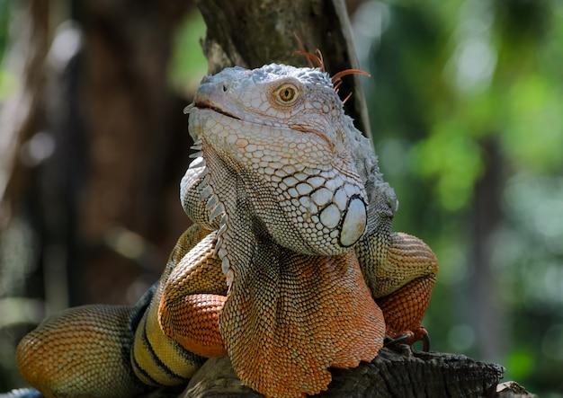 Iguane coloré