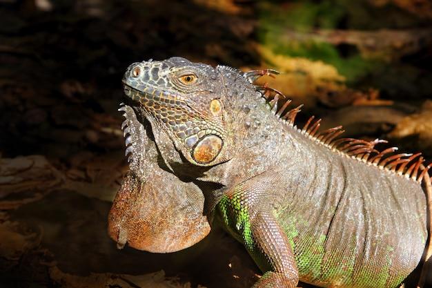 Iguane du mexique profil macro détail de portrait