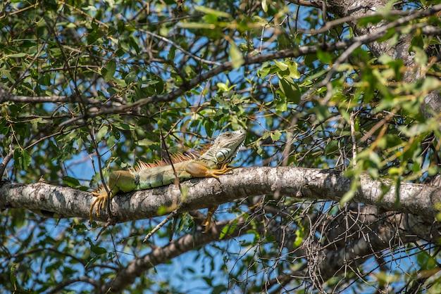 L'iguane est un genre de lézards herbivores originaire des régions tropicales