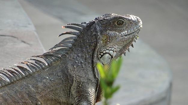 Iguane iguanes des galapagos