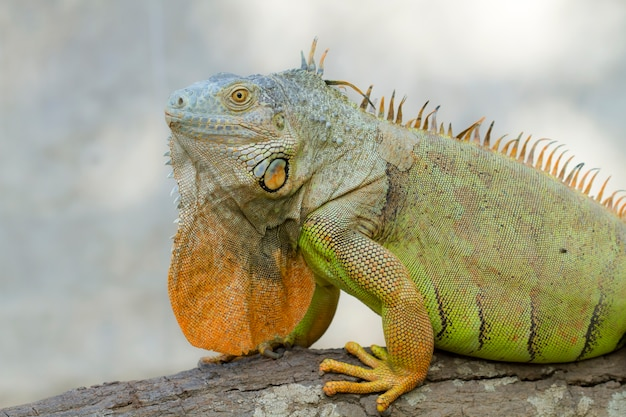 Iguane (iguanidae), reptiles préhistoriques