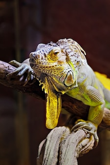 Iguane jaune et vert sur un arbre