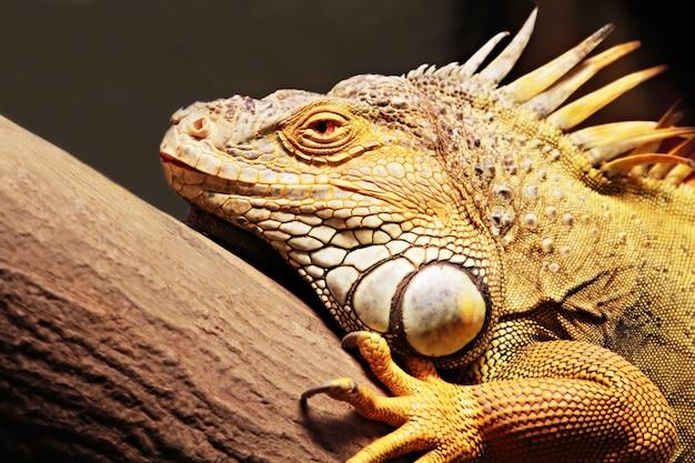 Iguane jaune