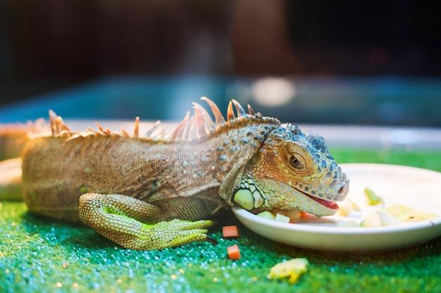 Iguane mangeant des légumes dans un zoo en contact