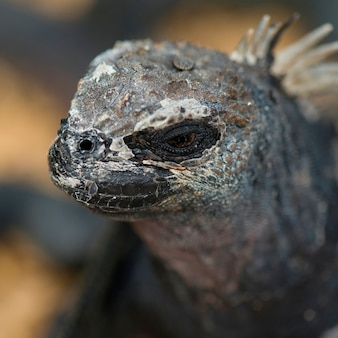 Iguane marin (amblyrhynchus cristatus), île seymour nord, îles galapagos, équateur