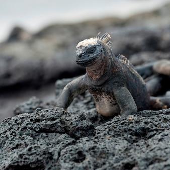 Iguane marin (amblyrhynchus cristatus), puerto egas, île santiago, îles galapagos, équateur