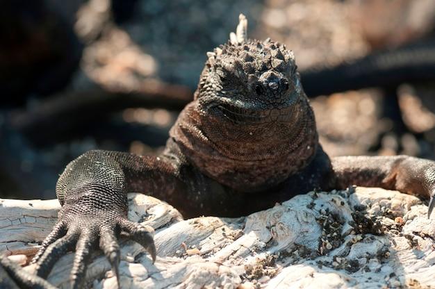 Iguane marin (amblyrhynchus cristatus), punta espinoza, île fernandina, îles galapagos, équateur
