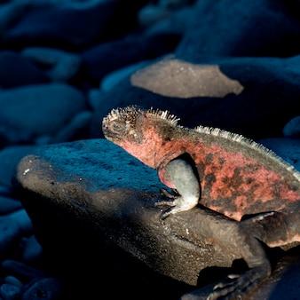 Iguane marin (amblyrhynchus cristatus) sur un rocher, punta suarez, île d'espanola, îles galapagos, équateur