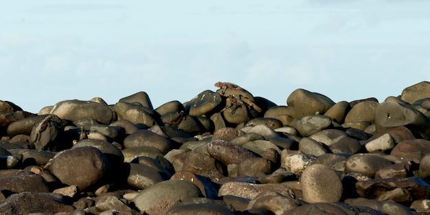 Iguane marin (amblyrhynchus cristatus) sur les rochers, punta suarez, île d'espanola, îles galapagos, équateur