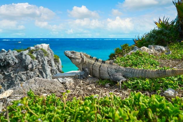 Iguane mexicaine à tulum sur la riviera maya