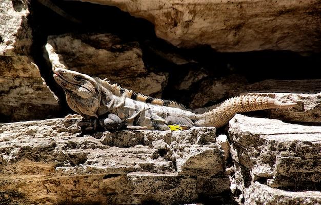 Iguane noir, ctenosaura pectinata, prenant un bain de soleil sur des rochers près de la mer.