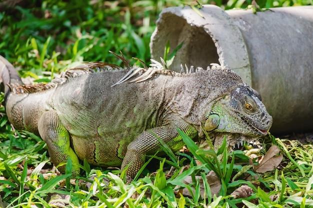 Iguane rhinocéros (cyclura cornuta) dans la nature
