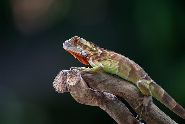Iguane rouge sur une branche d'arbre