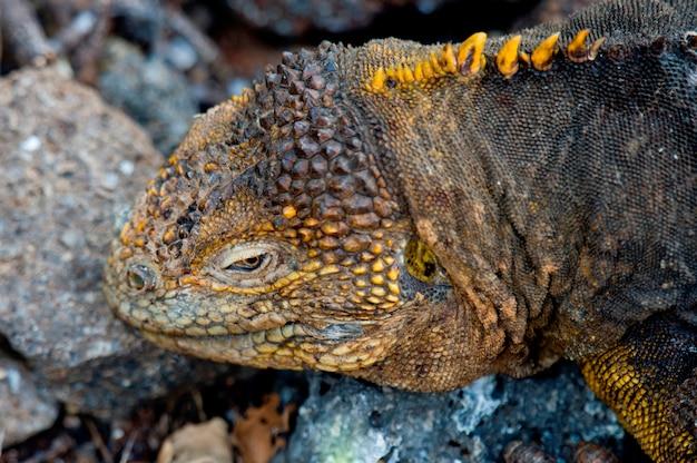 Iguane terrestre des galapagos (conolophus subcristatus), île seymour nord, îles galapagos, équateur