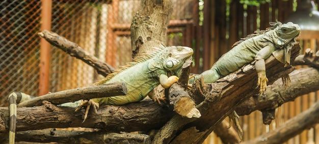 L'iguane vert, également appelé iguane d'amérique, est un grand lézard arboricole.