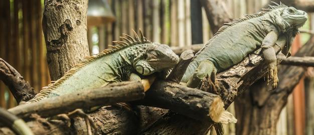 L'iguane vert (iguana iguana), également appelé iguane d'amérique, est un grand lézard arboricole.