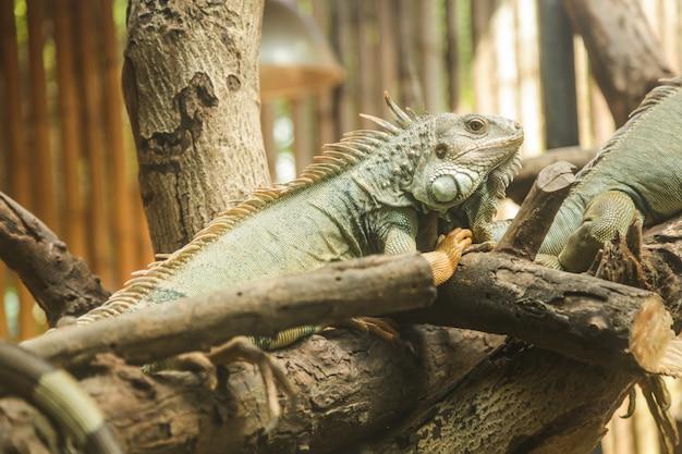 L'iguane vert (iguana iguana), également connu sous le nom d'iguane d'amérique, est un grand