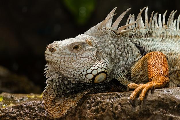 Iguane vert - iguane sur le rocher