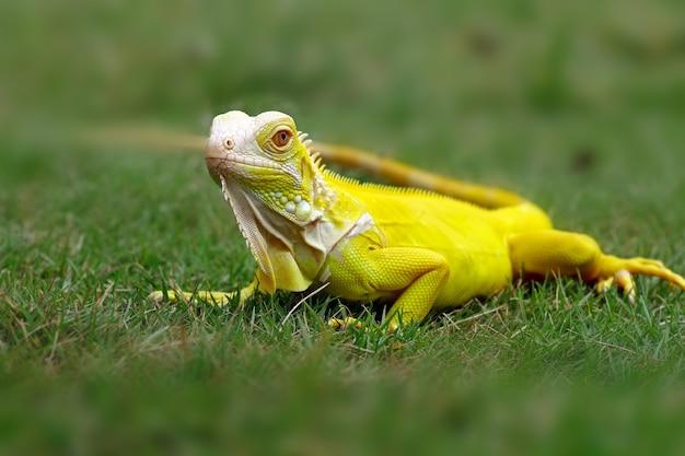 Iguanes albinos sur l'herbe