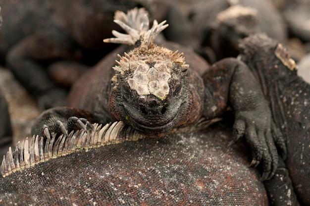 Iguanes marins (amblyrhynchus cristatus), punta espinoza, île fernandina, îles galapagos, équateur