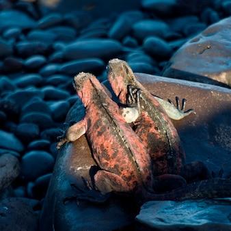 Iguanes marins (amblyrhynchus cristatus), punta suarez, île d'espanola, îles galapagos, équateur