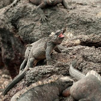 Iguanes marins (amblyrhynchus cristatus) sur les rochers, punta espinoza, île fernandina, îles galapagos, équateur