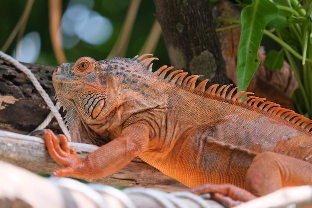 Les iguanes sont des genres de lézards qui vivent dans les tropiques d'amérique centrale, d'amérique du sud et des îles des caraïbes. iguane rouge, arrière-plan flou