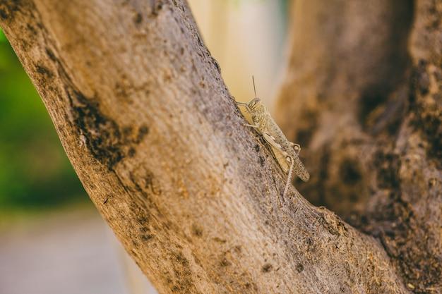 Il s'agit d'une obscène sauterelle d'oiseau (schistocerca obscura) posée sur une branche