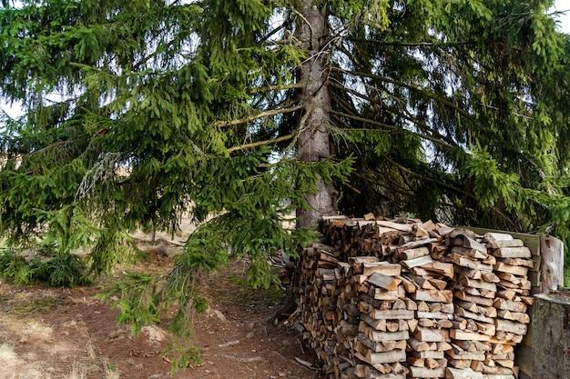 Il y a beaucoup de bûches dans la forêt située près d'un grand sapin.