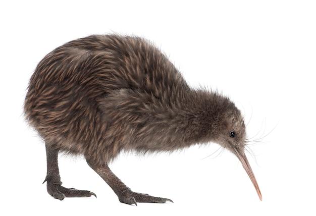 Île du nord brown kiwi, apteryx mantelli, 5 mois, marchant contre l'espace blanc