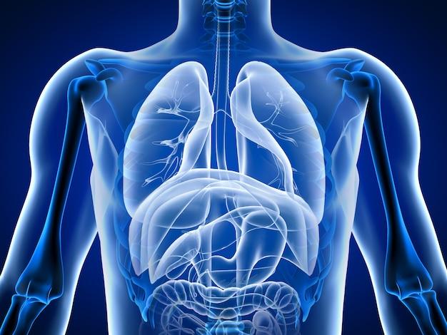 Illustration 3d organes du corps humain
