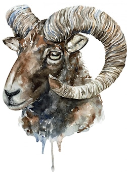 Illustration aquarelle altaï argali