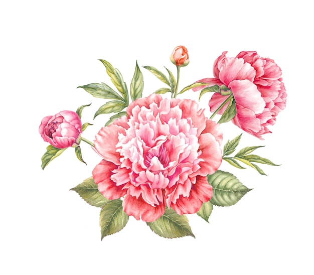Illustration aquarelle fleur pivoine rouge.