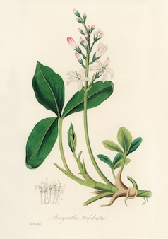 Illustration de bogbean (menyanthes trifoliata) de medical botany (1836)